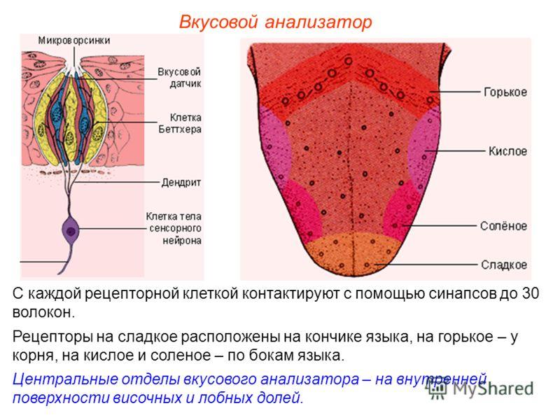Вкусовой анализатор С каждой рецепторной клеткой контактируют с помощью синапсов до 30 волокон. Рецепторы на сладкое расположены на кончике языка, на горькое – у корня, на кислое и соленое – по бокам языка. Центральные отделы вкусового анализатора –