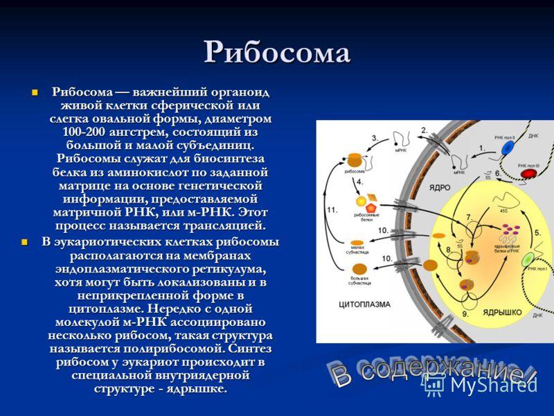 Рибосома Рибосома важнейший органоид живой клетки сферической или слегка овальной формы, диаметром 100-200 ангстрем, состоящий из большой и малой субъединиц. Рибосомы служат для биосинтеза белка из аминокислот по заданной матрице на основе генетическ
