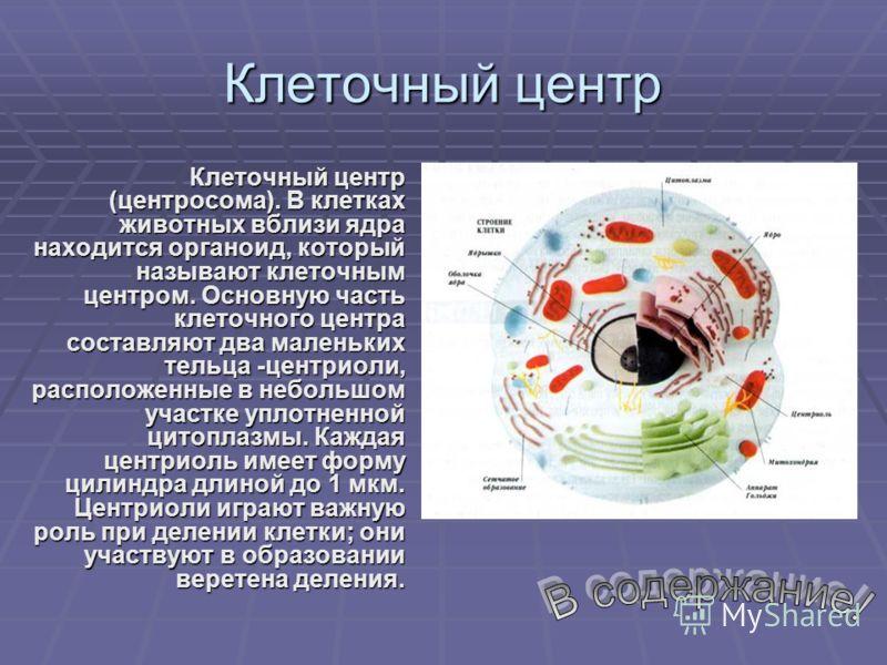 Клеточный центр Клеточный центр (центросома). В клетках животных вблизи ядра находится органоид, который называют клеточным центром. Основную часть клеточного центра составляют два маленьких тельца -центриоли, расположенные в небольшом участке уплотн