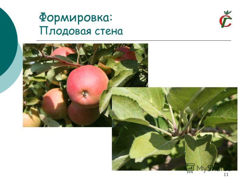 Формировка: Плодовая стена 11
