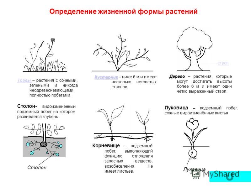 Луковица – подземный побег, сочные видоизменённые листья Определение жизненной формы растений Дерево Дерево – растения, которые могут достигать высоты более 6 м и имеют один чётко выраженный ствол. ствол Кустарник Кустарник Кустарник – ниже 6 м и име