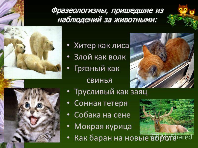 Фразеологизмы, пришедшие из наблюдений за животными: Хитер как лиса Злой как волк Грязный как свинья Трусливый как заяц Сонная тетеря Собака на сене Мокрая курица Как баран на новые ворота