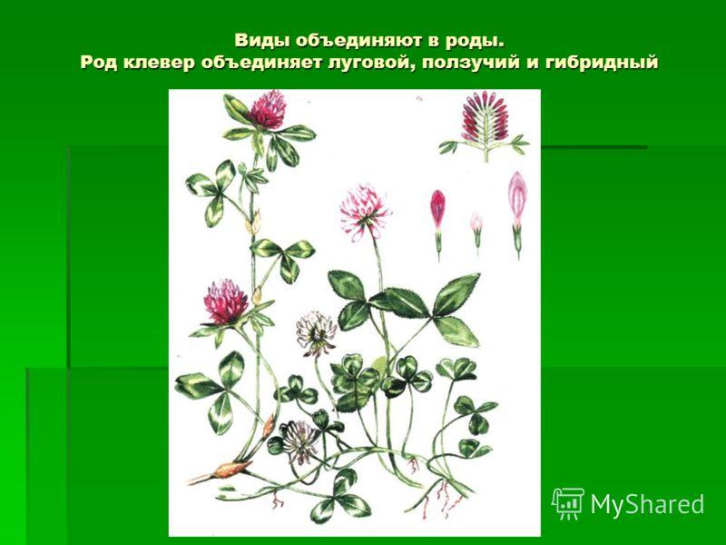 Виды объединяют в роды. Род клевер объединяет луговой, ползучий и гибридный