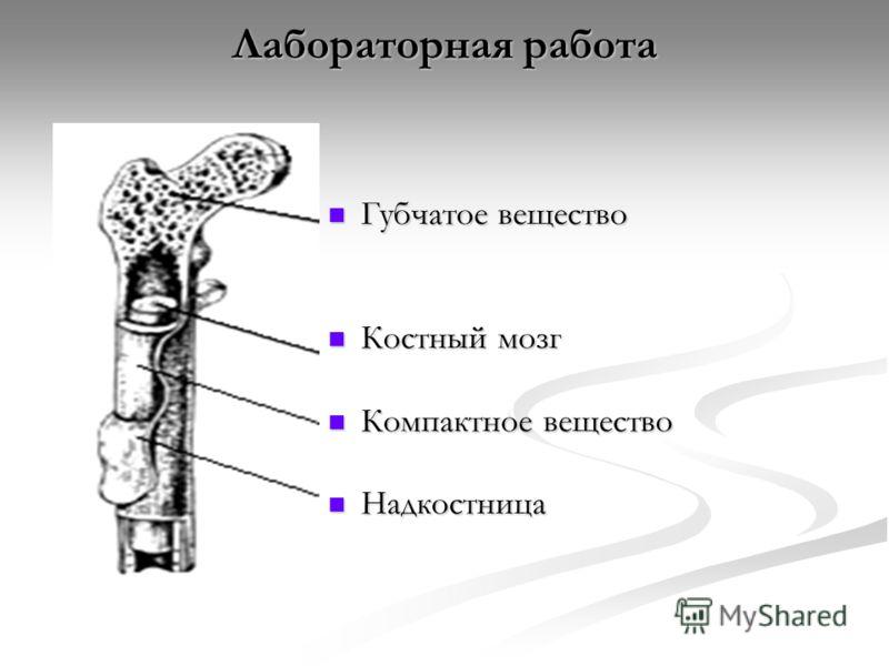 Лабораторная работа Губчатое вещество Губчатое вещество Костный мозг Костный мозг Компактное вещество Компактное вещество Надкостница Надкостница