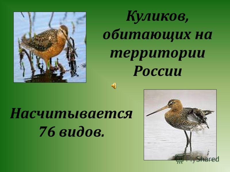 Куликов, обитающих на территории России Насчитывается 76 видов.