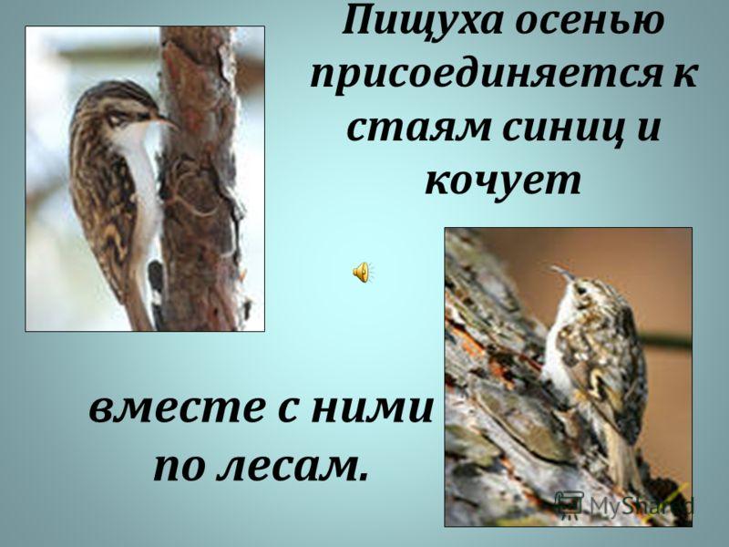 Пищуха осенью присоединяется к стаям синиц и кочует вместе с ними по лесам.