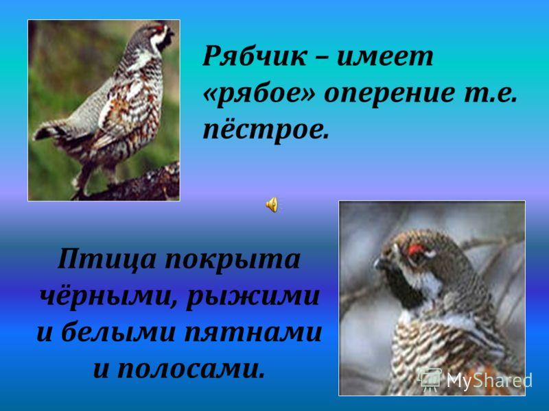 Рябчик – имеет «рябое» оперение т.е. пёстрое. Птица покрыта чёрными, рыжими и белыми пятнами и полосами.