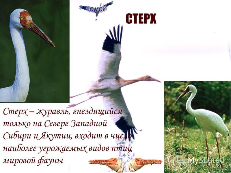 СТЕРХ Стерх – журавль, гнездящийся только на Севере Западной Сибири и Якутии, входит в число наиболее угрожаемых видов птиц мировой фауны