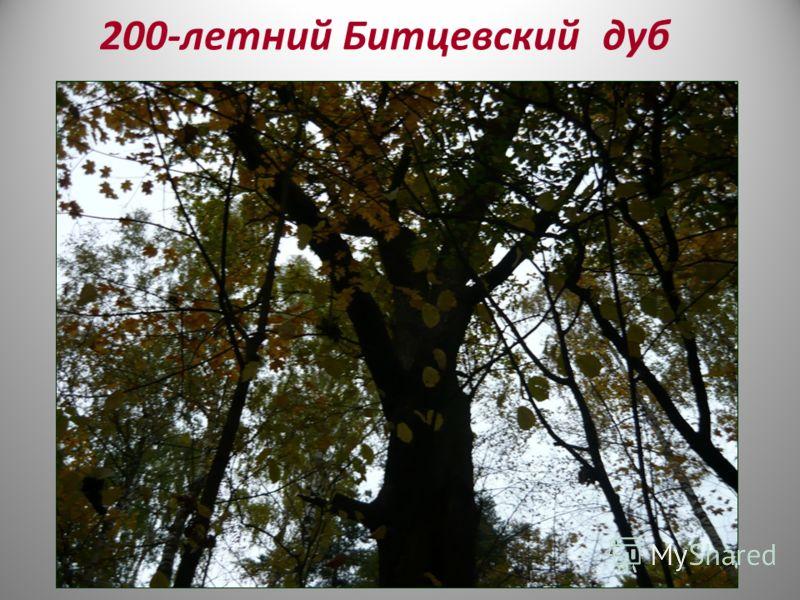 200-летний Битцевский дуб