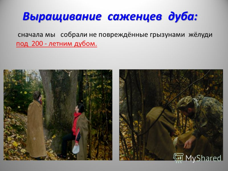 Выращивание саженцев дуба: сначала мы собрали не повреждённые грызунами жёлуди под 200 - летним дубом.