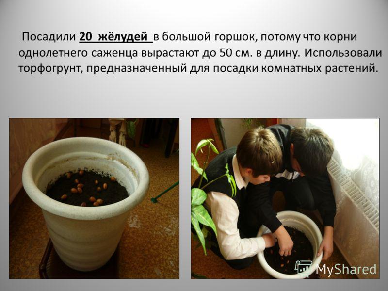Посадили 20 жёлудей в большой горшок, потому что корни однолетнего саженца вырастают до 50 см. в длину. Использовали торфогрунт, предназначенный для посадки комнатных растений.