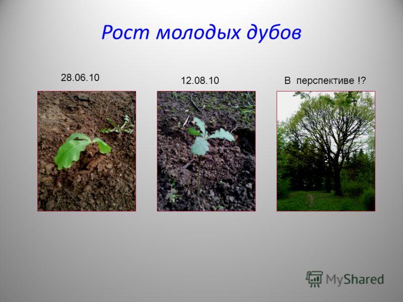Рост молодых дубов 28.06.10 12.08.10В перспективе !?