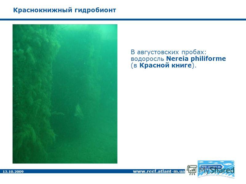 13.10.2009 www.reef.atlant-m.ua Краснокнижный гидробионт В августовских пробах: водоросль Nereia philiforme (в Красной книге).