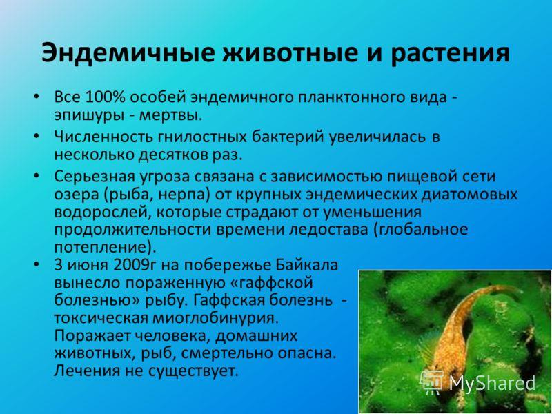 Эндемичные животные и растения Все 100% особей эндемичного планктонного вида - эпишуры - мертвы. Численность гнилостных бактерий увеличилась в несколько десятков раз. Серьезная угроза связана с зависимостью пищевой сети озера (рыба, нерпа) от крупных