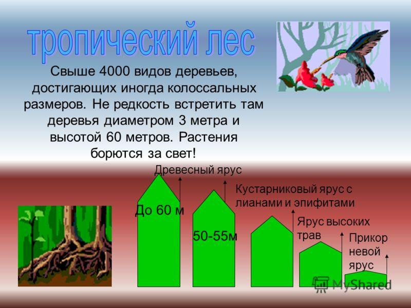 Свыше 4000 видов деревьев, достигающих иногда колоссальных размеров. Не редкость встретить там деревья диаметром 3 метра и высотой 60 метров. Растения борются за свет! До 60 м 50-55м Древесный ярус Кустарниковый ярус с лианами и эпифитами Ярус высоки