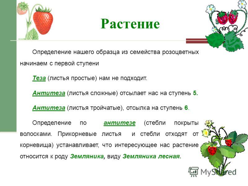 Растение Определение нашего образца из семейства розоцветных начинаем с первой ступени Теза (листья простые) нам не подходит. Антитеза (листья сложные) отсылает нас на ступень 5. Антитеза (листья тройчатые), отсылка на ступень 6. Определение по антит