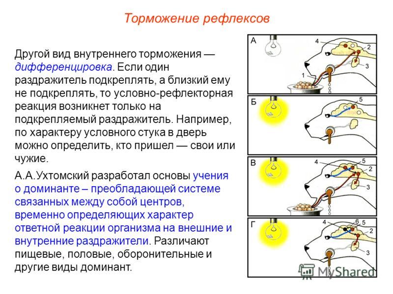Торможение рефлексов Другой вид внутреннего торможения дифференцировка. Если один раздражитель подкреплять, а близкий ему не подкреплять, то условно-рефлекторная реакция возникнет только на подкрепляемый раздражитель. Например, по характеру условного