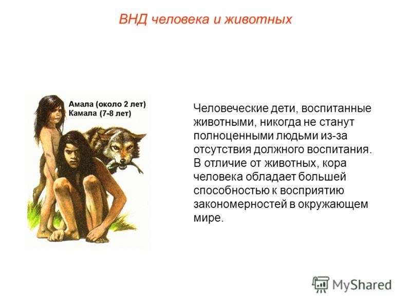 ВНД человека и животных Человеческие дети, воспитанные животными, никогда не станут полноценными людьми из-за отсутствия должного воспитания. В отличие от животных, кора человека обладает большей способностью к восприятию закономерностей в окружающем