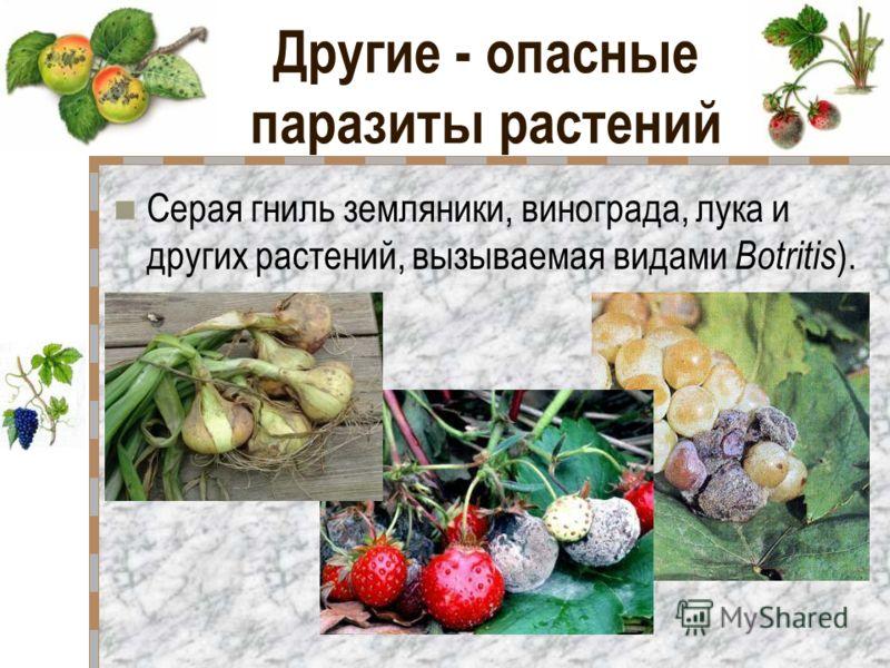 Другие - опасные паразиты растений Серая гниль земляники, винограда, лука и других растений, вызываемая видами Botritis ).