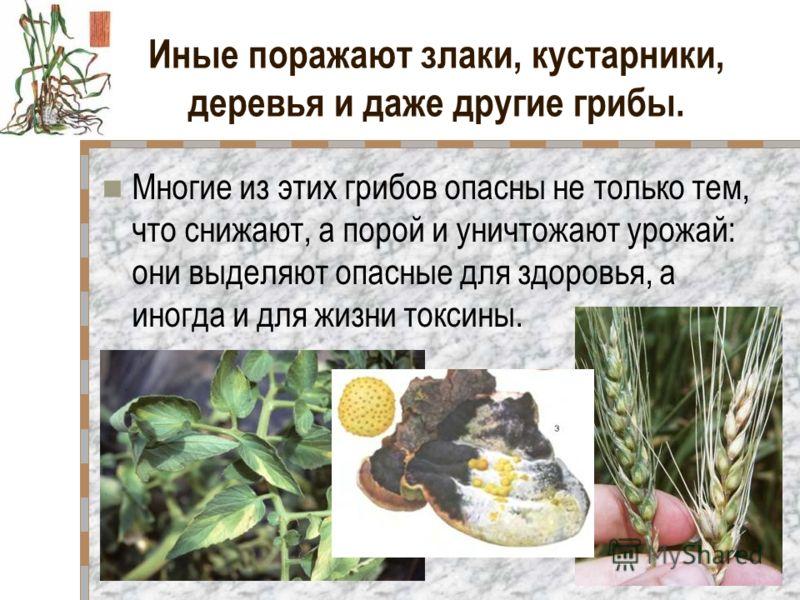 Иные поражают злаки, кустарники, деревья и даже другие грибы. Многие из этих грибов опасны не только тем, что снижают, а порой и уничтожают урожай: они выделяют опасные для здоровья, а иногда и для жизни токсины.