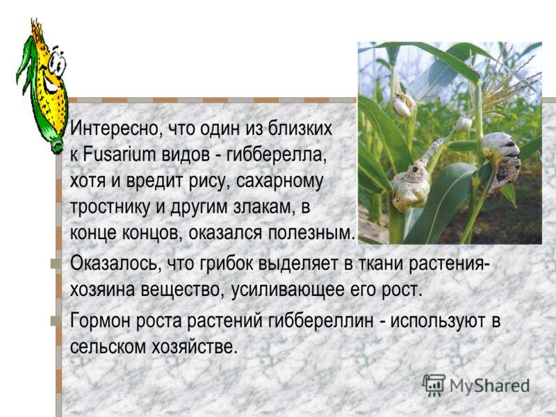 Интересно, что один из близких к Fusarium видов - гибберелла, хотя и вредит рису, сахарному тростнику и другим злакам, в конце концов, оказался полезным. Оказалось, что грибок выделяет в ткани растения- хозяина вещество, усиливающее его рост. Гормон