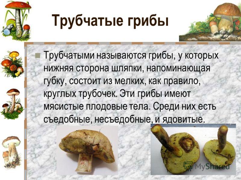Трубчатые грибы Трубчатыми называются грибы, у которых нижняя сторона шляпки, напоминающая губку, состоит из мелких, как правило, круглых трубочек. Эти грибы имеют мясистые плодовые тела. Среди них есть съедобные, несъедобные, и ядовитые.