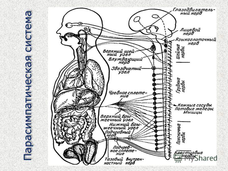 Парасимпатическая система
