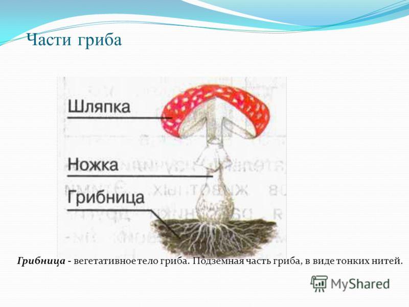 Части гриба Грибница - вегетативное тело гриба. Подземная часть гриба, в виде тонких нитей.