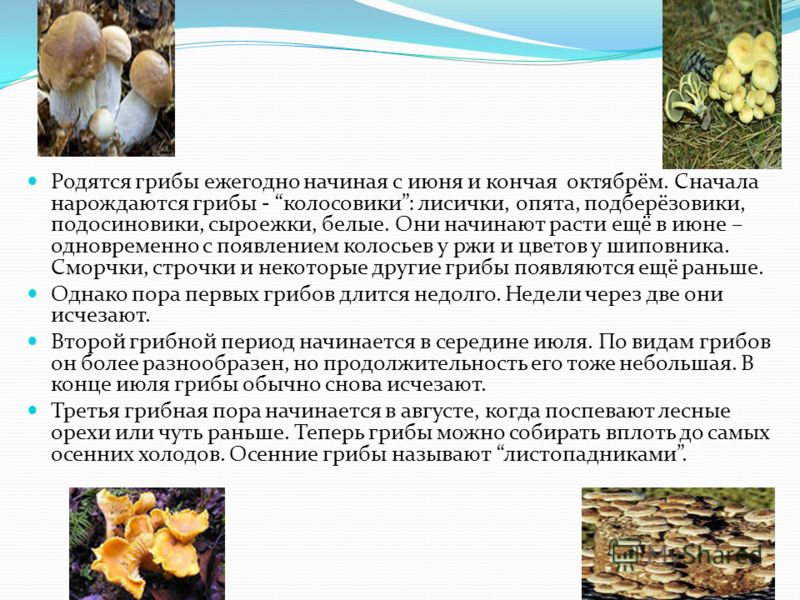 Родятся грибы ежегодно начиная с июня и кончая октябрём. Сначала нарождаются грибы - колосовики: лисички, опята, подберёзовики, подосиновики, сыроежки, белые. Они начинают расти ещё в июне – одновременно с появлением колосьев у ржи и цветов у шиповни