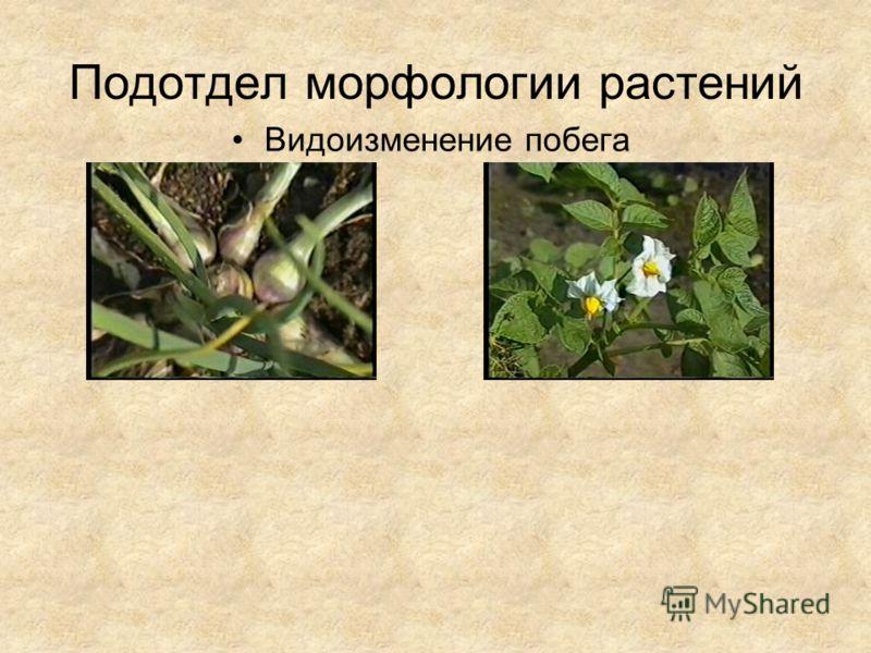 Подотдел морфологии растений Видоизменение побега