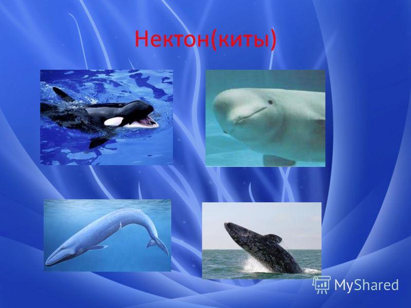 Нектон(киты)