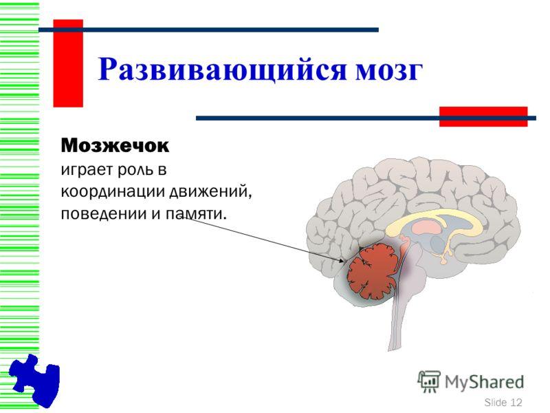 Slide 12 Развивающийся мозг Мозжечок играет роль в координации движений, поведении и памяти.