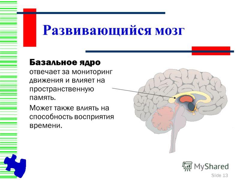 Slide 13 Развивающийся мозг Базальное ядро отвечает за мониторинг движения и влияет на пространственную память. Может также влиять на способность восприятия времени.