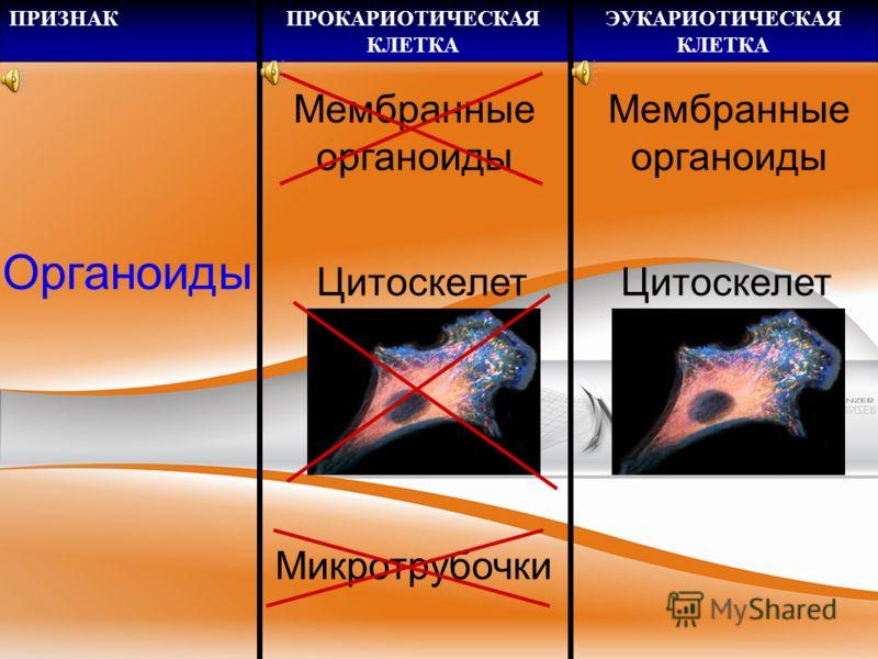 ПРИЗНАКПРОКАРИОТИЧЕСКАЯ КЛЕТКА ЭУКАРИОТИЧЕСКАЯ КЛЕТКА Эндоплазмат ический ретикулум Синтез белка 70 S рибосом80 S рибосомы