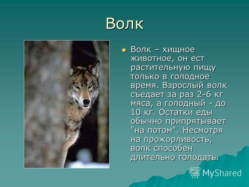 Волк Волк – хищное животное, он ест растительную пищу только в голодное время. Взрослый волк съедает за раз 2-6 кг мяса, а голодный - до 10 кг. Остатки еды обычно припрятывает