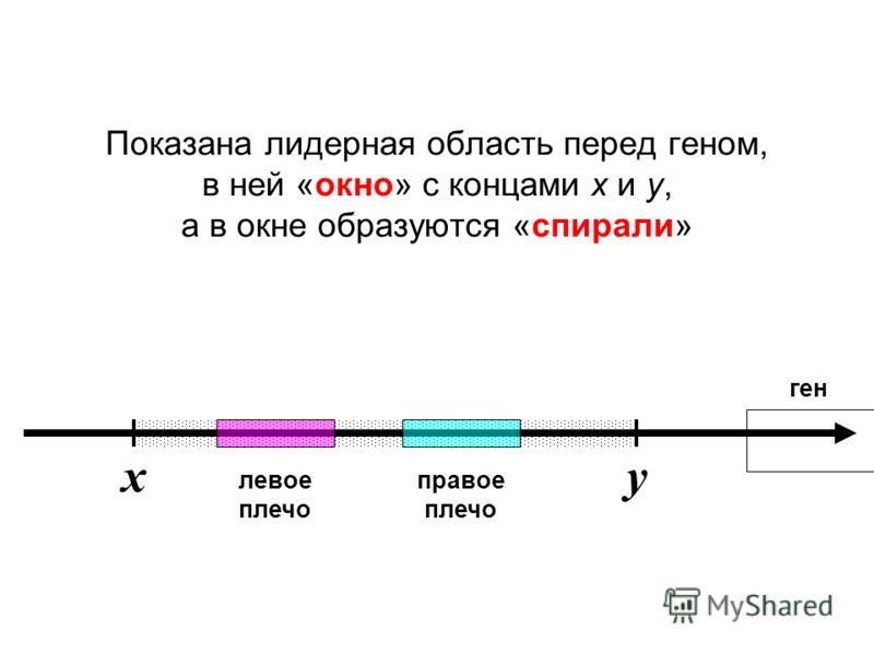 Показана лидерная область перед геном, в ней «окно» с концами x и y, а в окне образуются «спирали» ген левое плечо правое плечо xy