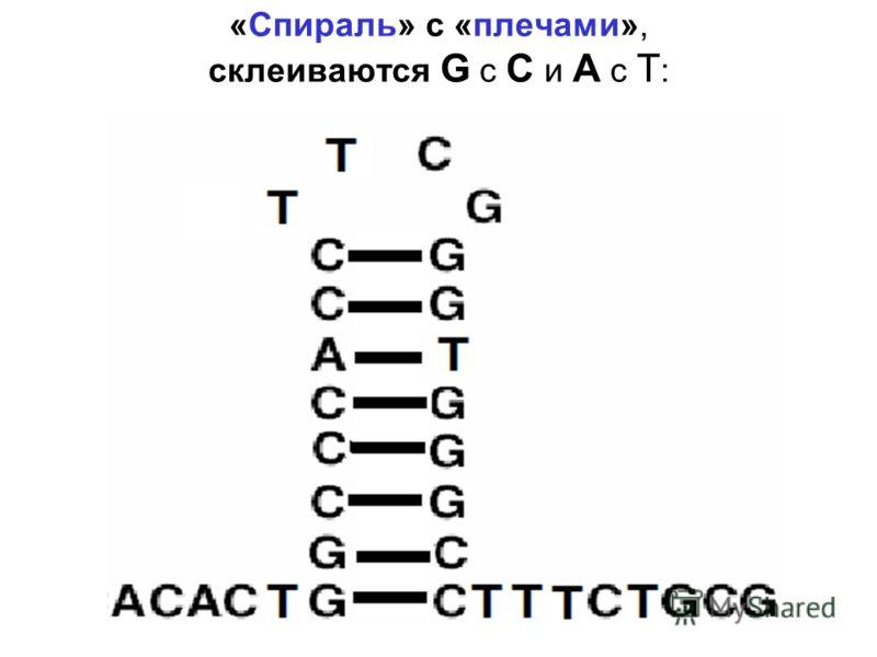 «Спираль» с «плечами», склеиваются G с C и A с T :