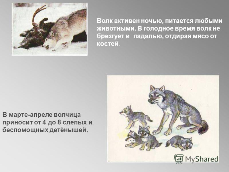 Волк активен ночью, питается любыми животными. В голодное время волк не брезгует и падалью, отдирая мясо от костей. В марте-апреле волчица приносит от 4 до 8 слепых и беспомощных детёнышей.