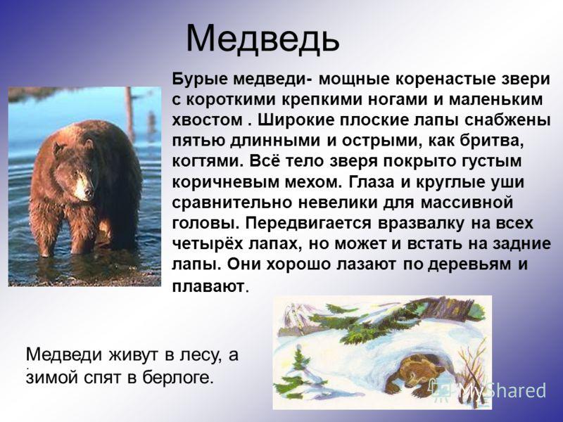 Медведь Бурые медведи- мощные коренастые звери с короткими крепкими ногами и маленьким хвостом. Широкие плоские лапы снабжены пятью длинными и острыми, как бритва, когтями. Всё тело зверя покрыто густым коричневым мехом. Глаза и круглые уши сравнител