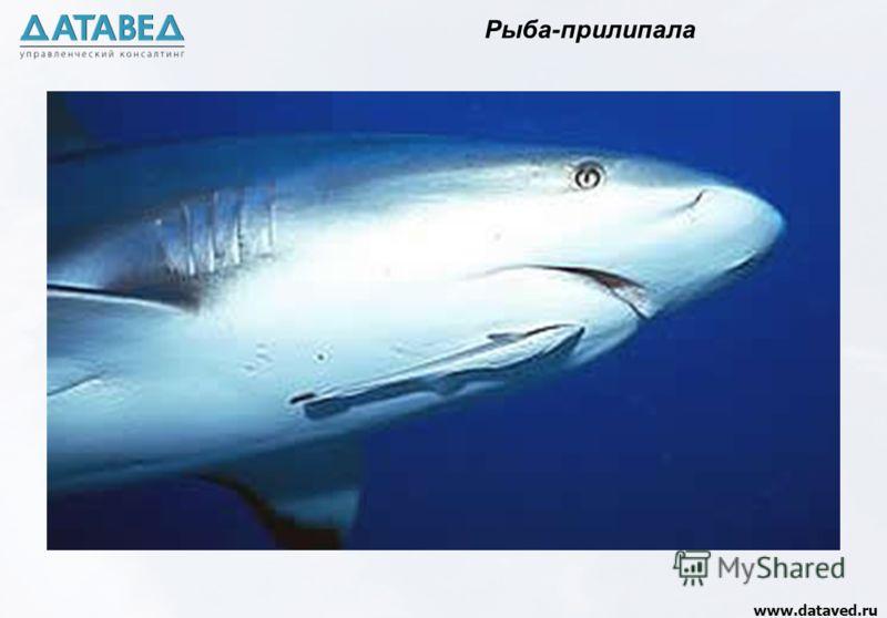 www.dataved.ru Рыба-прилипала