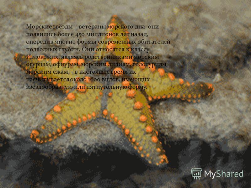 Морские звёзды – ветераны морского дна, они появились более 450 миллионов лет назад, опередив многие формы современных обитателей подводных глубин. Они относятся к классу Иглокожих, являясь родственниками морским огурцам, офиурам, морским лилиям, гол