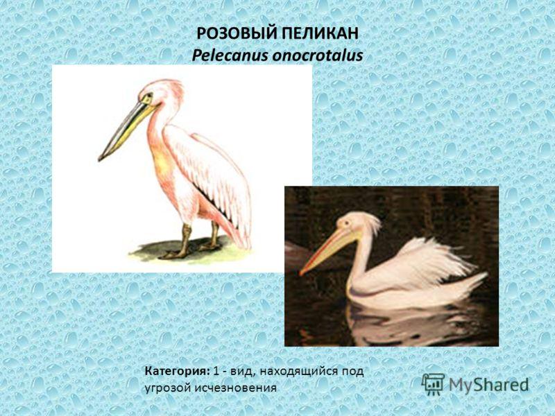 РОЗОВЫЙ ПЕЛИКАН Pelecanus onocrotalus Категория: 1 - вид, находящийся под угрозой исчезновения