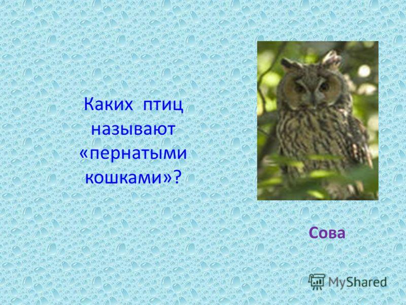 Каких птиц называют «пернатыми кошками»? Сова