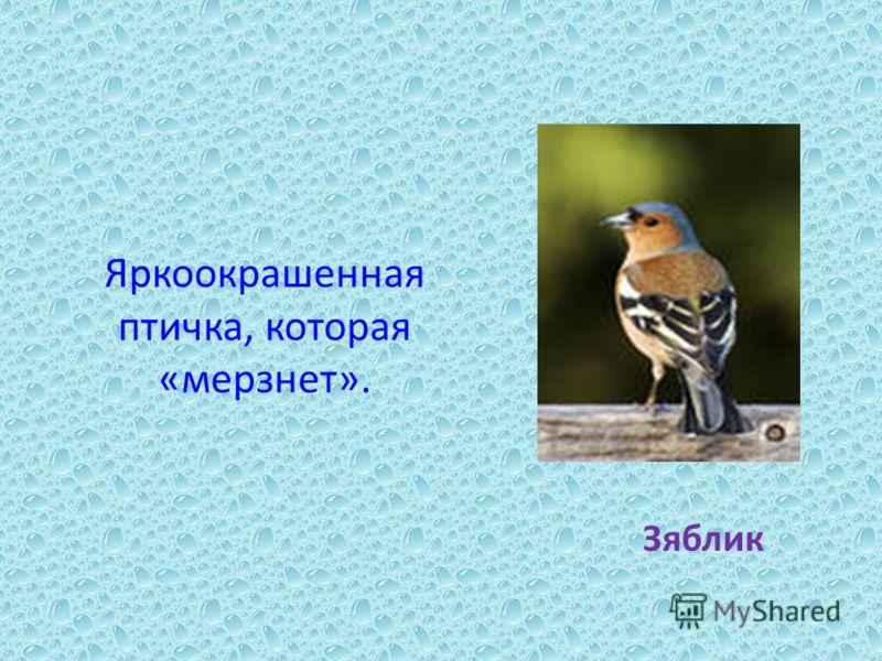 Яркоокрашенная птичка, которая «мерзнет». Зяблик