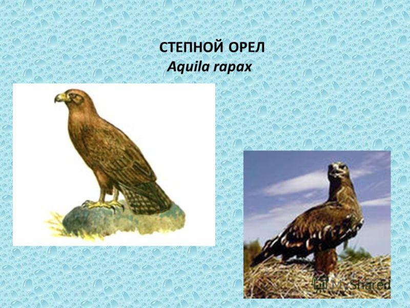СТЕПНОЙ ОРЕЛ Aquila rapax