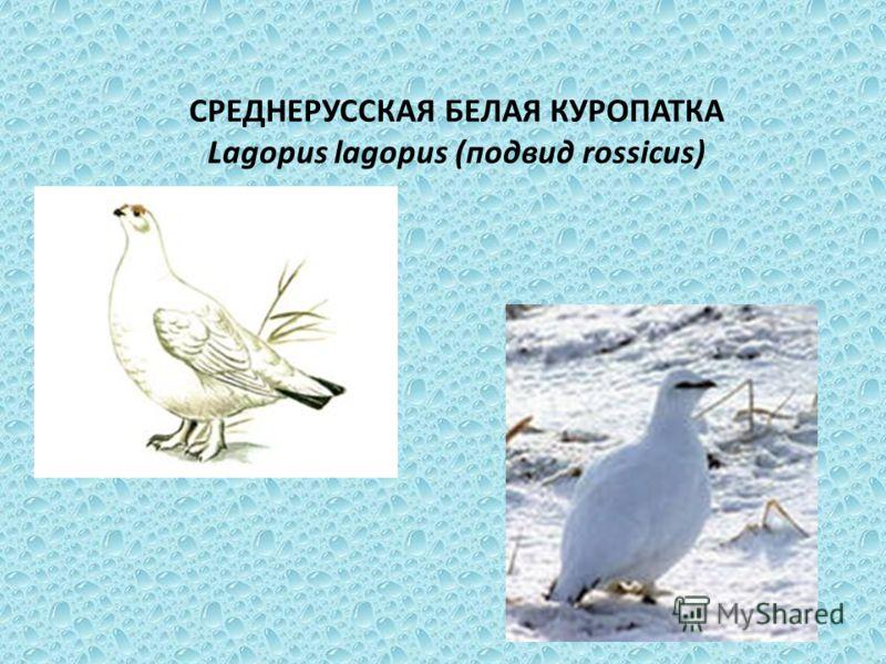 СРЕДНЕРУССКАЯ БЕЛАЯ КУРОПАТКА Lagopus lagopus (подвид rossicus)