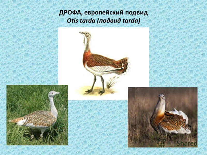ДРОФА, европейский подвид Otis tarda (подвид tarda)