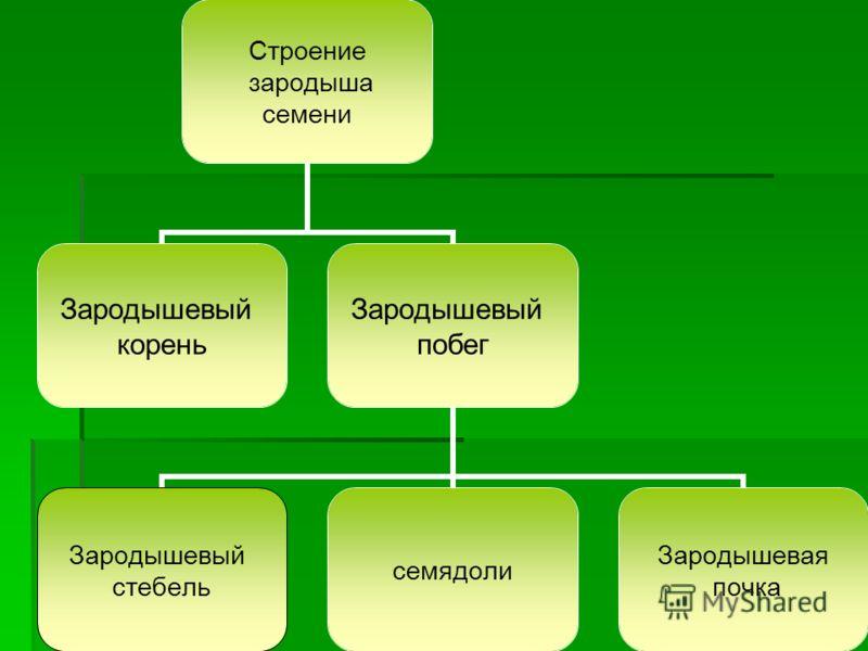 Строение зародыша семени Зародышевый корень Зародышевый побег Зародышевый стебель семядоли Зародышевая почка