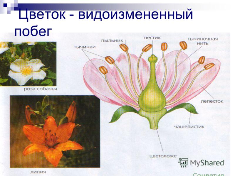 Цветок - видоизмененный побег