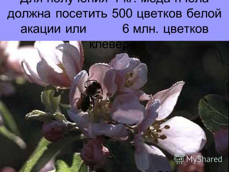 Для получения 1 кг. меда пчела должна посетить 500 цветков белой акации или 6 млн. цветков клевера.